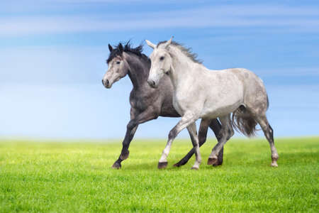 grey horses: Couple of grey horses run gallop on gree grass against beautiful sky Stock Photo