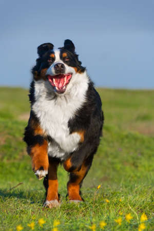 bernese dog: Dog running on green grass