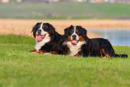 bernese dog: Two bernese dog lying on spring grass