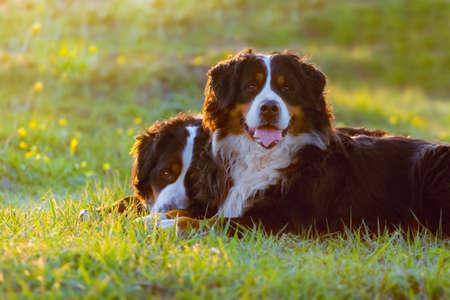 春の草の上に横たわる 2 つのバーニーズ犬