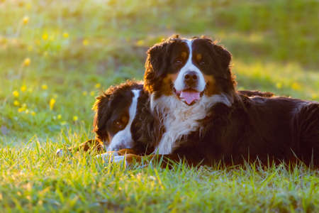 Two bernese dog lying on spring grass