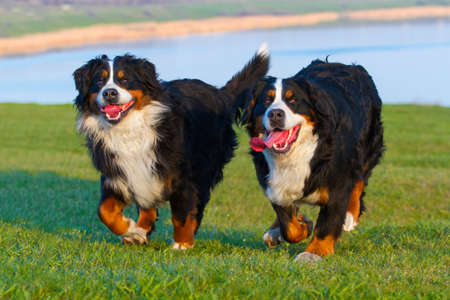 dog run: Two bernese dog run in the meadow Stock Photo