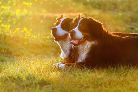 bernese: Two bernese dog lying on spring grass