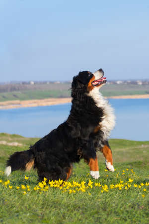 bernese dog: Dog trained to perform tricks