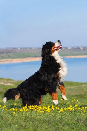 perro corriendo: Perro entrenado para realizar trucos