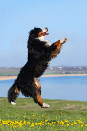 bernese: Beautiful bernese dog jump against blue river in the meadow Stock Photo