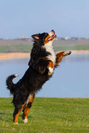 bernese dog: Beautiful bernese dog jump against blue river in the meadow Stock Photo