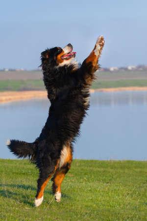 perro corriendo: Salto hermoso perro bernese contra río azul en el prado Foto de archivo