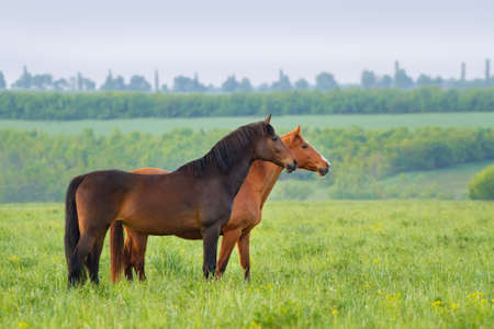 Two horse on pasture in the morning Imagens
