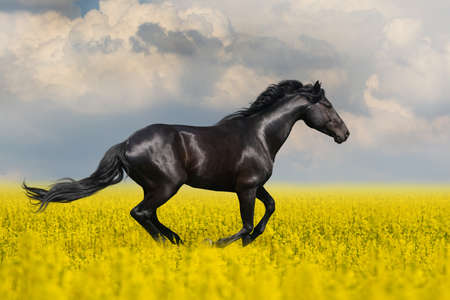 Black horse run in the meadow with yellow flowers 免版税图像