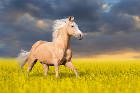 palomino: Palomino horse with long blond male on colza field