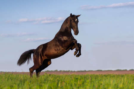 rearing: Black horse rearing up in the meadow Stock Photo