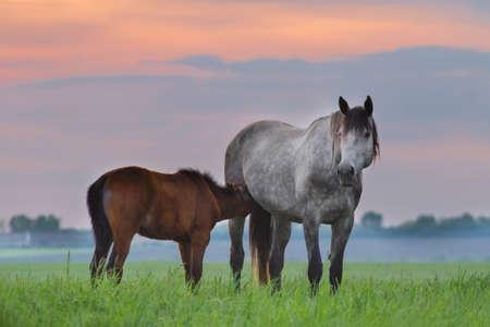 yegua: yegua gris con potro en pasto verde contra el cielo del atardecer