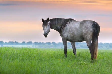 warmblood: Beautiful silver mare on green pasture against sunset sky
