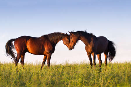 Couple of beautiful horse touch each other in meadow