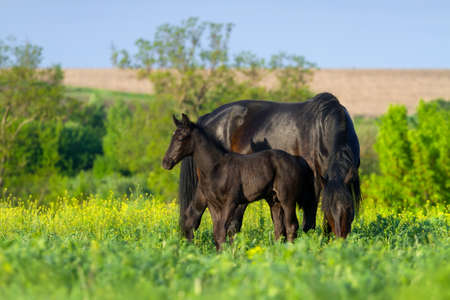 mare: Mare with colt in field with yellow flowers Stock Photo
