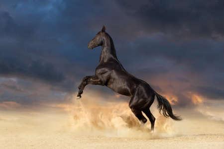 Beautiful black achal teke horse rearing up in desert dust