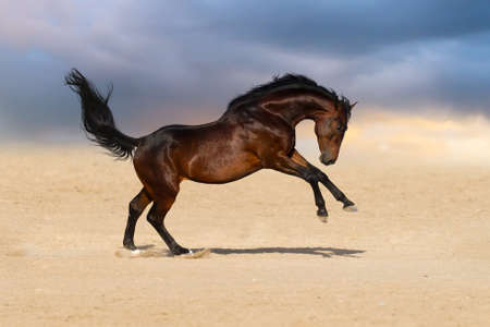 bay: Bay stallion horse playing in sandy field against sunset sky
