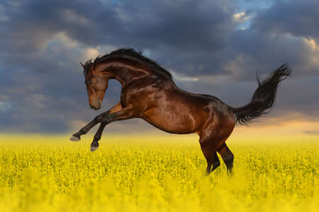 Beautiful bay horse run gallop in rape field