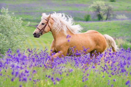 Palomino horse with long blond male on flower field