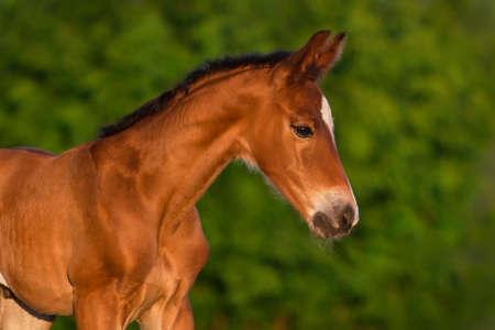 Bay newborn colt portrait  outdoor Stock Photo