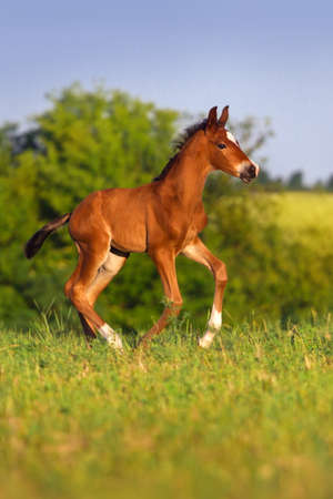 galloping: Running bay foal in spring green field