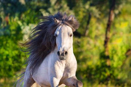 mane: Grey pony with long mane portrait run at summer