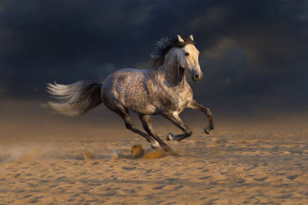 horses: Grey andalusian horse run gallop in desert dust Stock Photo