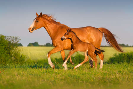 Mare run with colt in beautiful field at sunrise Imagens - 41738546