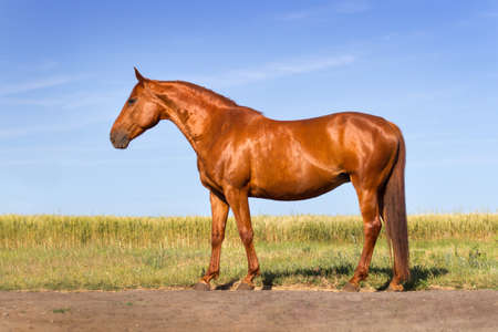 red horse: Beautiful red horse exterior