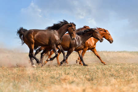 Group of beautiful horse run gallop on field with dust Imagens