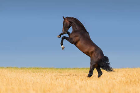 Stallion horse rearing up in a field of wheat Imagens - 42447146