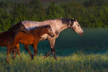 caballo bebe: Caballo gris con dos potros caminar sobre el pasto en la noche