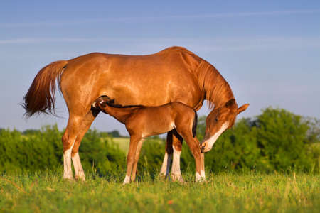 Colt drink milk from mare in pasture Stockfoto