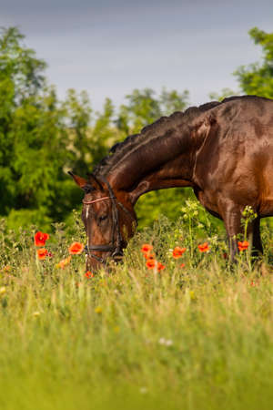 pappy: Bay stallion horse in red poppy flowers Stock Photo