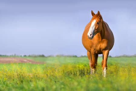 Red pregnant mare in spring pasture Stok Fotoğraf