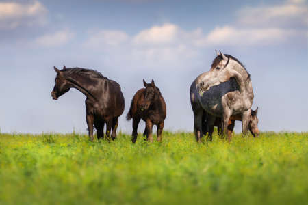 caballo bebe: Herd of mare and colt  in spring pasture grazing