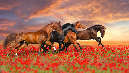 chestnut male: Group of four horses run gallop in poppy field against sunset sky