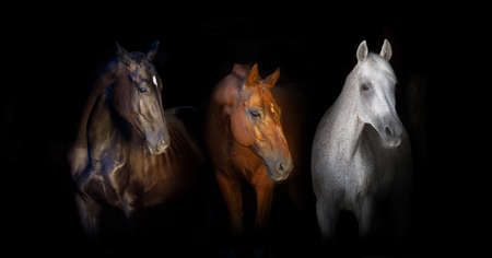 Black red and white horses portrait isolated on black background