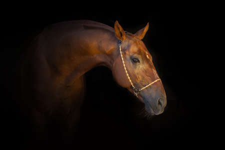 nostril: Portrait of beautiful red horse in halter isoletad on black background Stock Photo
