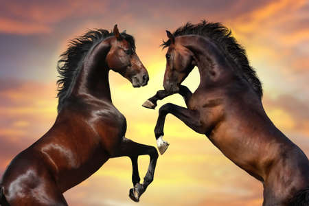 Two bay stallion with long mane rearing up against sunset sky Фото со стока