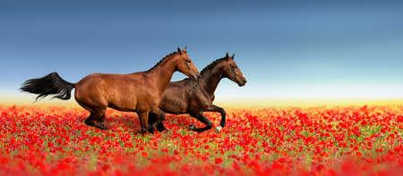 Two stallion run fast in poppy field against blue sky Imagens - 43686892