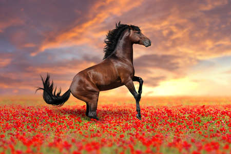Horse rearing up in poppy field Imagens