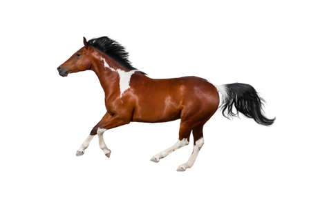 Pinto horse run gallop on white background Фото со стока