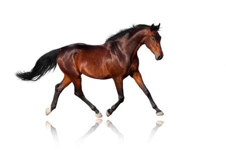 cabeza caballo: Bay trotter aislado en blanco