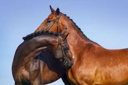 arab beast: Two beautiful bay horse couple portrait against blue sky