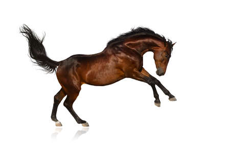 Beautiful bay horse jump on white background