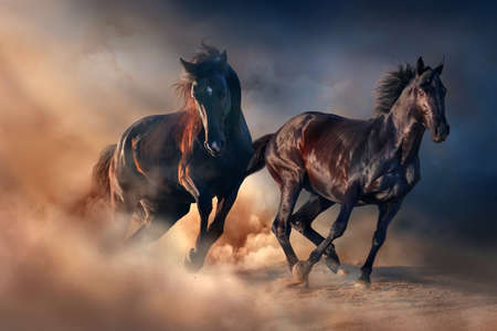Two black stallion run at sunset in desert dust Standard-Bild