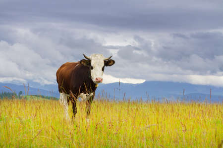 pastures: Beautiful cow with white head and bell in mountain pasture Stock Photo
