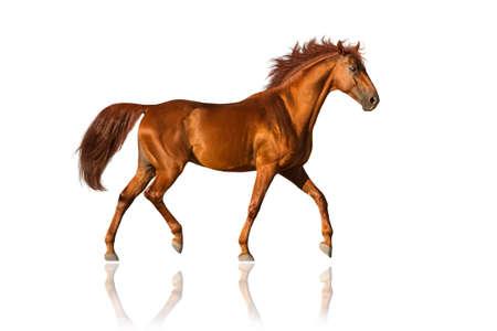 corse di cavalli: Cavallo rosso trotto isolato su bianco Archivio Fotografico